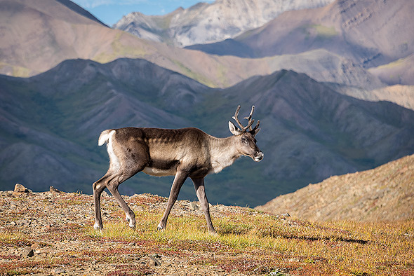 Caribou feeding on tundra in interior of Denali NP