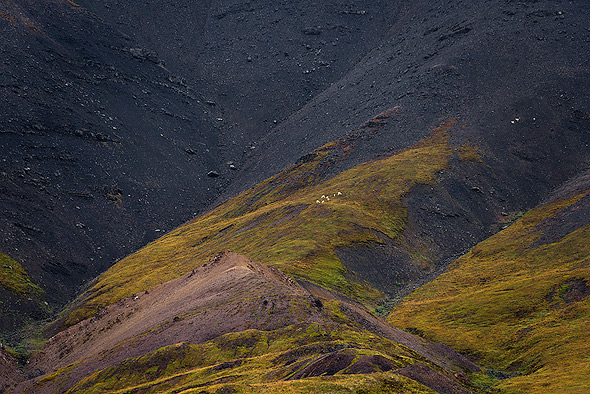 The little white dots are Dall Sheeps. Taken with a 300mm lens at the Denali NP