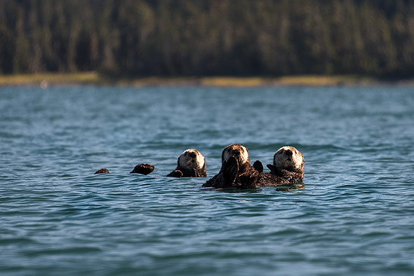 A Kayak allows you to get really close to sea otters