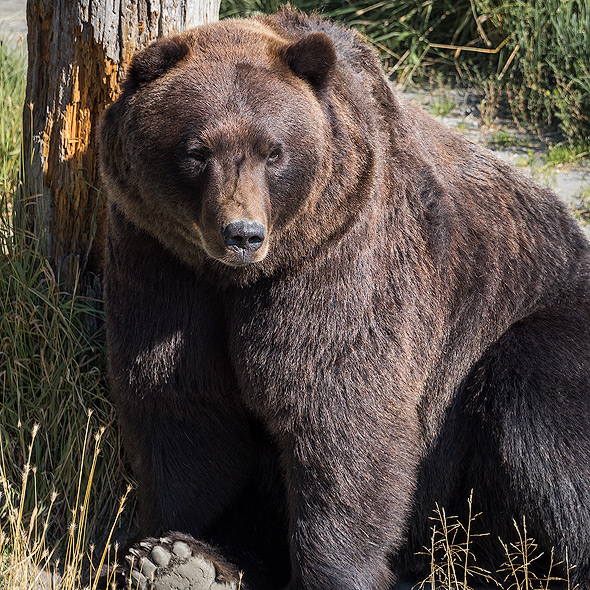 Brown Bear at the AWCC