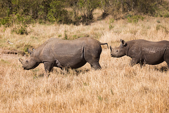 Very lucky to get two black Rhinos on one picture
