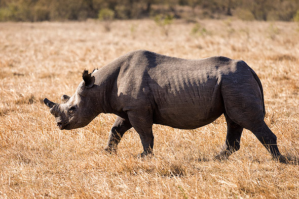 The Black Rhino has suffered a catastrophic 98% decline