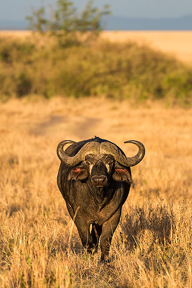 Another member of the Big 5: Buffalo