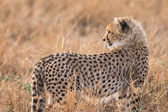 Cheetah cub is looking for her mother