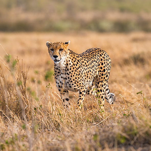 Cheetah is looking for her cub