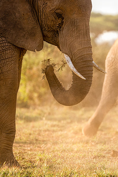 Close up of an eating Elephant