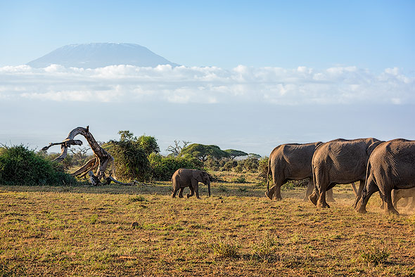 A herd of Elephants in front of Mount Kilimanjaro