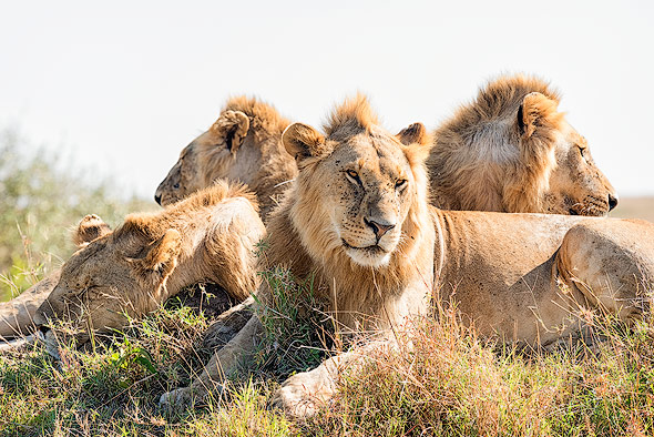 Group of Lion brothers