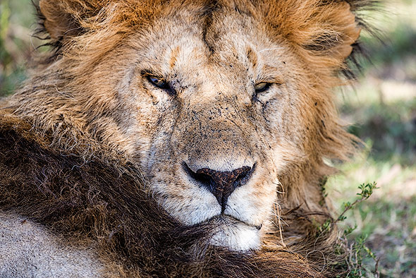 Close up shot of a male Lion