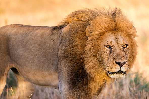 A male lion in the early morning light