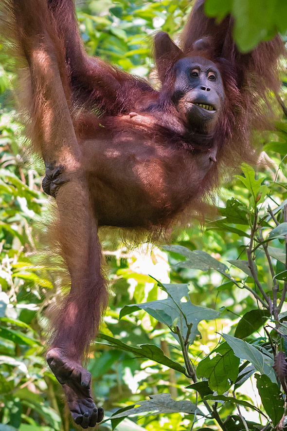 Orangutan is one of our closest relative to human