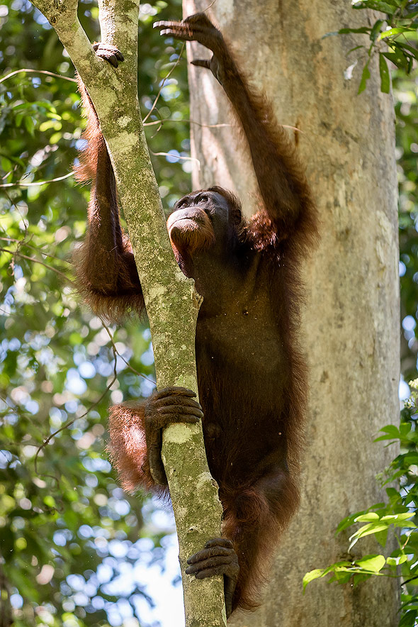 Orangutan is only found in Borneo and Sumatra