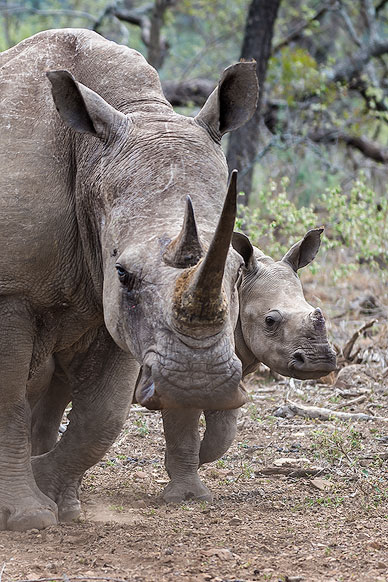 Rhino mother with her Baby