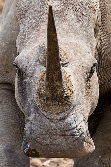 Eye contact with a white Rhino