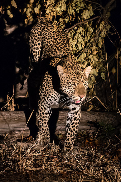 Night Game Drive with a Leopard